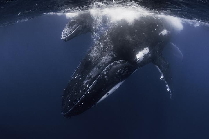 Fotografía de CHARO GERTRUDIX para Nthephoto. Ballenas jorobadas. Vava´u - Tonga.